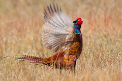 Pheasant flapping its wings Stock Images
