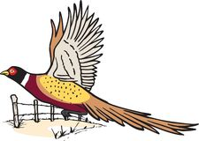 Pheasant in flight. A Pheasant Cock taking flight on an Autumn Day. Use it on newsletter, sales publications or anything else, and as always, thank you. Vector Stock Image
