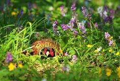Pheasant in flowers hidden Royalty Free Stock Photo
