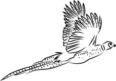 Pheasant flying Stock Photo