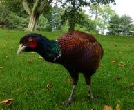 Pheasant Royalty Free Stock Images