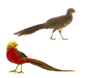 Pheasant gold Royalty Free Stock Image