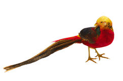 Pheasant gold Stock Photo