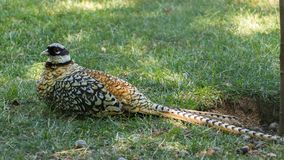 A pheasant in the grass stock images