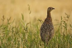 Pheasant in the grass. Shot made in summer Stock Image