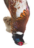 Pheasant head Stock Photography