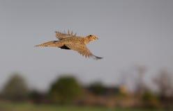 Pheasant hen flying Stock Photos