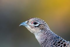 Pheasant Hen`s beautiful but discrete Portrait Stock Image