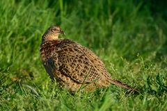 Pheasant hen sit on the meadow, spring. Phasianus colchicus Stock Photos