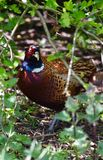Pheasant hiding in a Bush Royalty Free Stock Photos