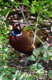 Pheasant hiding in a Bush Royalty Free Stock Photos