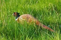 Pheasant hiding in the high grass Royalty Free Stock Image