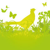 Pheasant in the high meadow. Pheasant in the high and green meadow Royalty Free Stock Photos