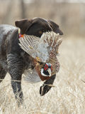 Pheasant Hunting royalty free stock photo