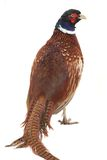Pheasant Royalty Free Stock Photography