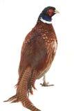 Pheasant Royalty Free Stock Photography