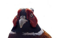 Pheasant isolated on white Stock Photo