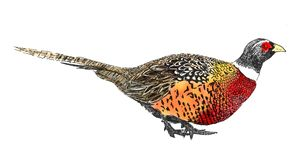 Pheasant isolated on white. Hand drawn colored sketch of pheasant isolated on white background royalty free illustration