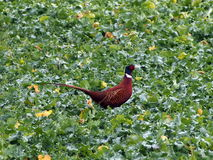 Pheasant in the kale. A male cock pheasant strolls through a field of kale that provides a bright green Royalty Free Stock Photography