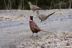 Pheasant with ladies Royalty Free Stock Photo