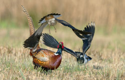 Pheasant and lapwing Stock Photography