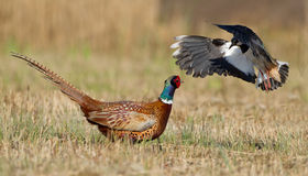 Pheasant and lapwing Stock Image