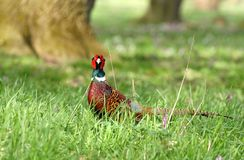 Pheasant looking Royalty Free Stock Photo