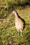 Pheasant looking with one eye Royalty Free Stock Photos