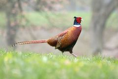 Pheasant male Royalty Free Stock Image