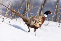 Pheasant male. Male Pheasant walking on the snow, Phasianus colchicus mongolicus Royalty Free Stock Photo