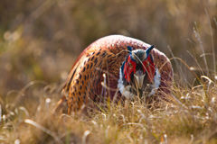 Pheasant male. In the dunes Stock Photo