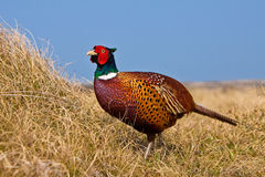 Pheasant male. In the dunes Stock Photography
