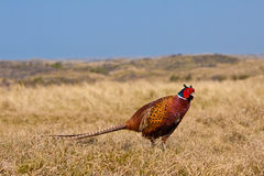 Pheasant male. In the dunes Royalty Free Stock Images
