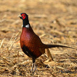 Pheasant male Stock Images