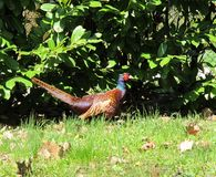 Pheasant male bird Stock Photography