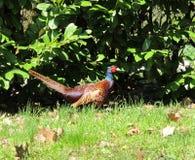 Pheasant male bird. In the garden Stock Photography