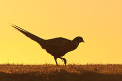 Pheasant male bird walking on a hill stock photo
