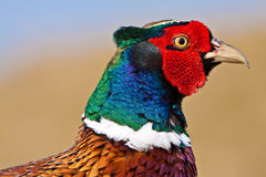 Pheasant male closeup Stock Image