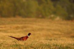 Pheasant. A male Pheasant at Pian di Spagna Reserve stock images