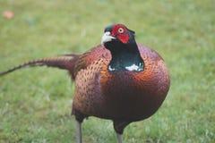 Pheasant. Male pheasant with sleek outline Stock Photos