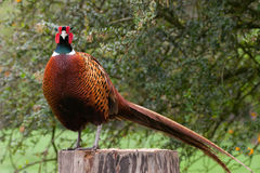 Pheasant male standing on tree stump stock photography