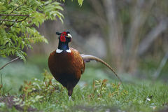 Pheasant, male Stock Photo