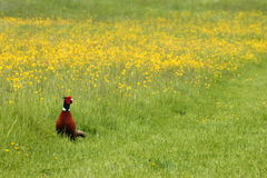 Pheasant in a meadow Royalty Free Stock Photo