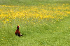 Pheasant in a meadow Royalty Free Stock Photos