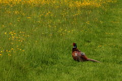 Pheasant in a meadow Stock Photography