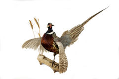 Pheasant mount. Taxidermy pheasant mount on a log over a white background Stock Photos