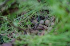 Pheasant nest among thick grass with eggs. Macro. Point Focus. Exploring the wildlife of your country royalty free stock photography
