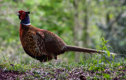 Pheasant in the Netherlands Royalty Free Stock Photos