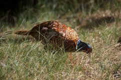 Pheasant [Phasianus colchicus] Royalty Free Stock Images