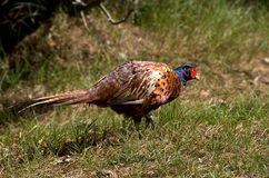 Pheasant [Phasianus colchicus] Royalty Free Stock Image